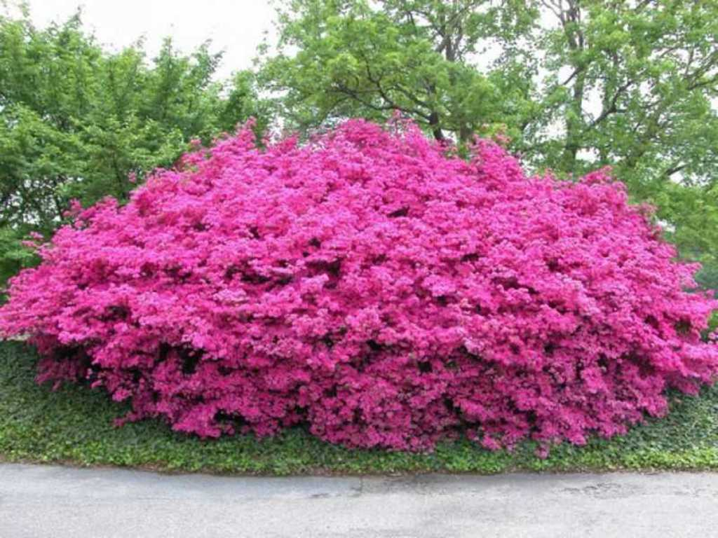 Японские азалии- по праву считаются одними из самых декоративных.  Чаще выращиваются, как садовые кустарники с...